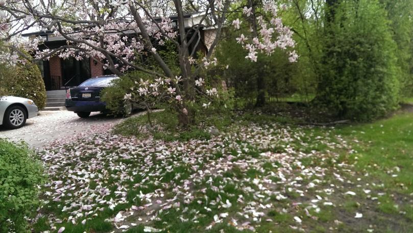 A Carpet of Cherry Blossoms